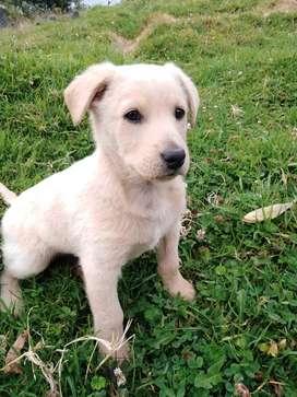 Labrador retriver dorado