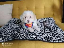 Hermosos Cachorros French poodle mini toy