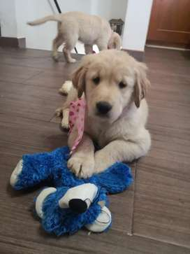 Hermosos Golden Retriever