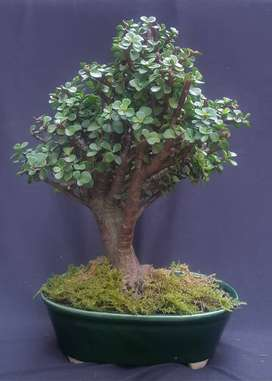 Bonsai Jade Monedita