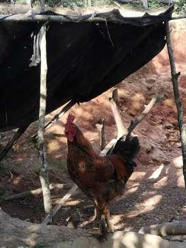 Venta de gallos
