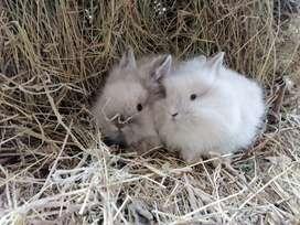 Conejos cabeza de león doble melena