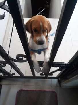 Vendo cachorro basset hound hush puppies perro