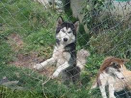 lobos siberiano