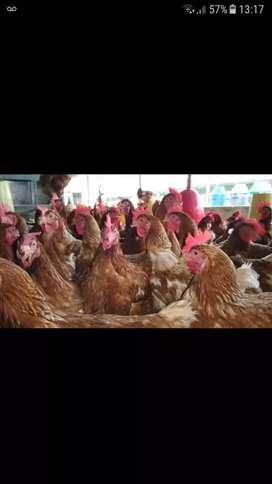 Ofrezco las últimas siete gallinas ponedoras de remate