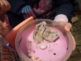 Hamster Rusos Bio