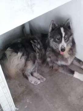 En Sta.Rosa se vende 3 cachorros Alaska Malamute pelo largo de un año de edad con su carnet de vacunación .