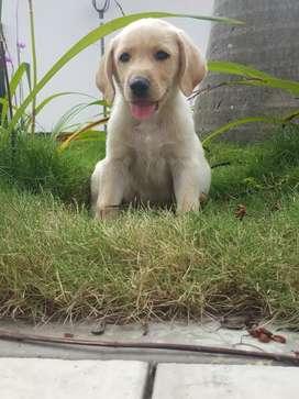 Supersano cachorro Labrador dorado