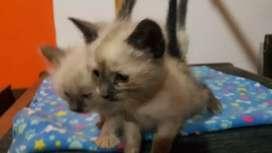 Gatitos siames puros