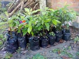 VENDO PLANTINES DE PALTA ANISADA