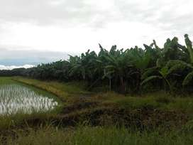 Venta de Bananera Productiva en Guayas Daule, Sur de Daule