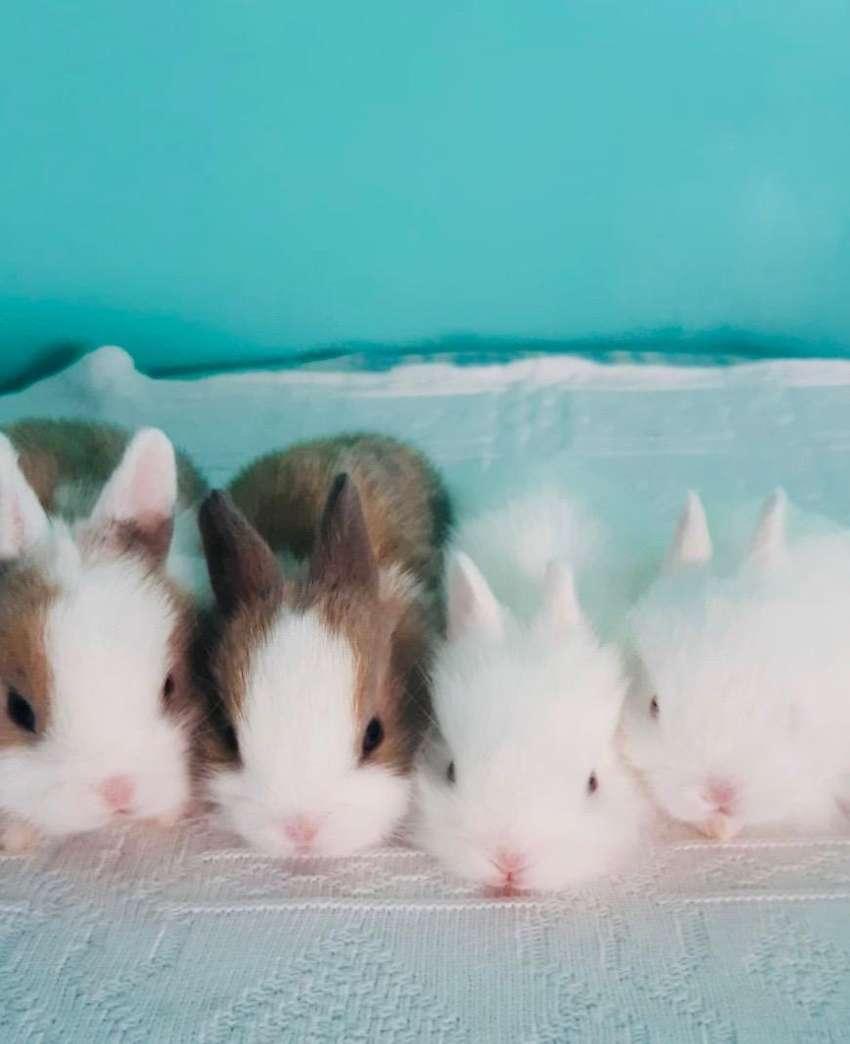 Venta Conejos enanos 0