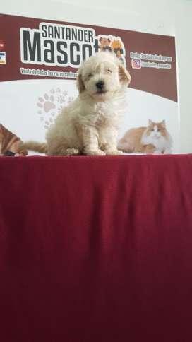 Cachorros de Raza French Poodle Buen Gen