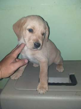 Labrador dorado macho muy lindo