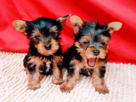Cachorritos Yorkshire  terrier  a la venta mini