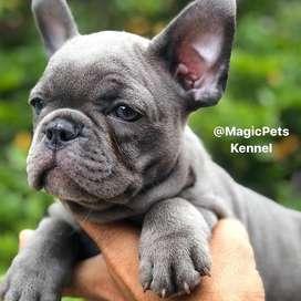 machitos blue exoticos cachorritos tiernos 59 dias