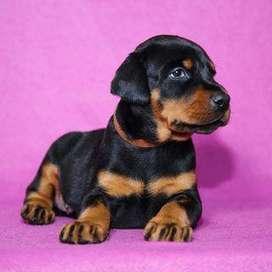 Bellos Perros Doberman con 50 días de edad, muy saludables