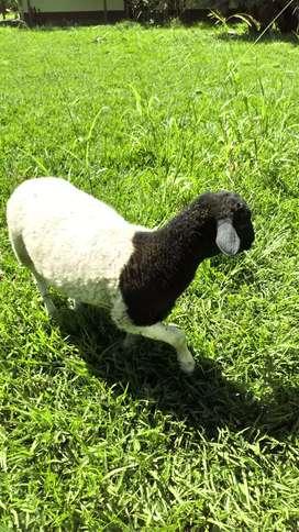 Se venden ovejos dorper