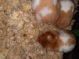 Hamster sirio en venta
