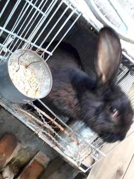 Conejo gigante de Flandes macho negro
