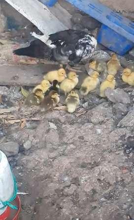 Patos en venta