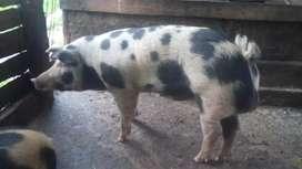 Cerdo Reproductor