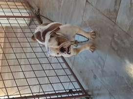 se vende hembra raza bulldog  ingle de 1 año 3 neses 500