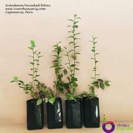 Plantas de Arandano