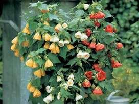semillas de planta abutilon
