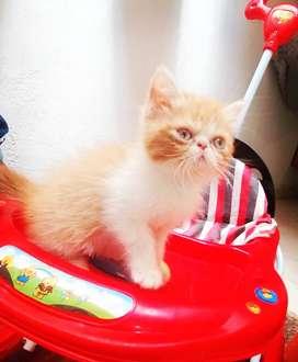 Gato exótico bicolor