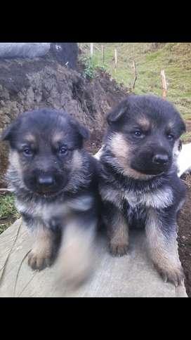 Se venden cachorras pastor alemán