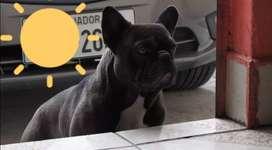 Bulldog frances semental para montas