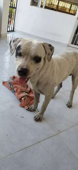 Se da en adopción a perro enrasado con Pitbull