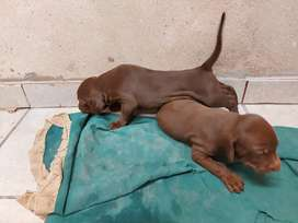 Cachorros Weimarane