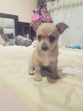 Cachorro de Chihuahua (macho)
