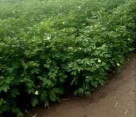Campo Agricola Las Breñas Chaco