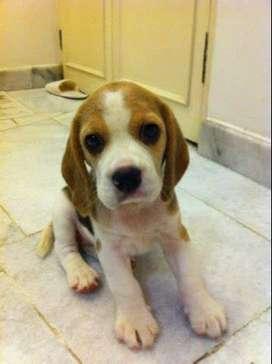beagle hermosos cachorros de gran veterinaria