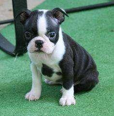 boston terrier pequeños dulces muy afectuosos hermosa raza para el hogar