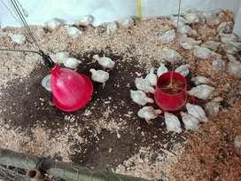 Se Vende Pollo Campesino 4000 Lb