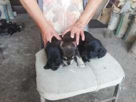 Adopción cachorros