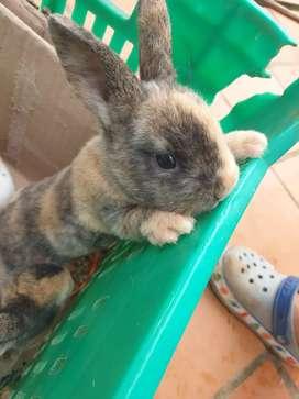 Venta de conejos mini rex