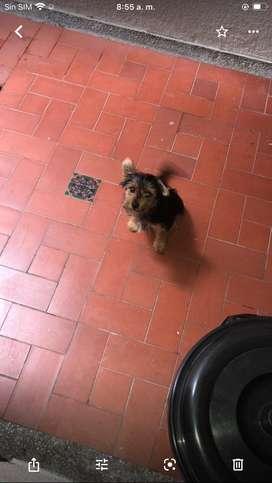 Vendo yorky terrier de 3 meses