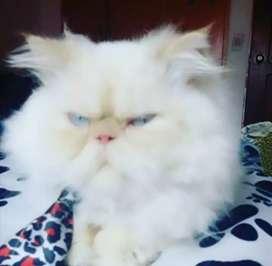 Gato persa reproductor