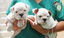 Cachorros Bulldog Ingles en Pet Vital
