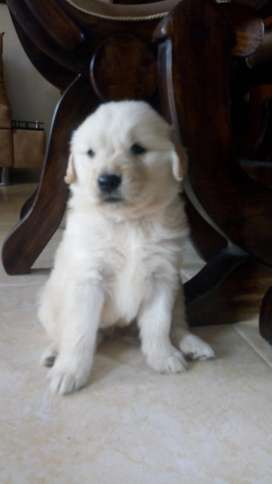 Se Venden Cachorras de Golden Retriever