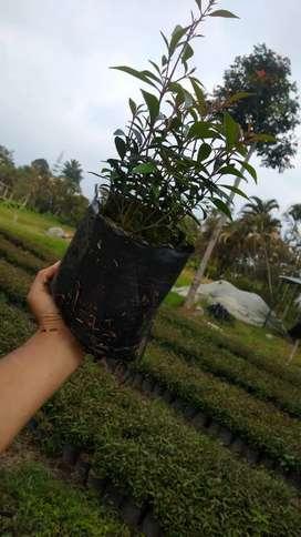 Plantas ornamentales Eugenias para cerca y decoración de exteriores