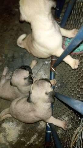 Se venden perros pug