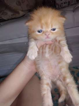 Se venden lindos gatos persas