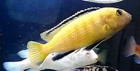 Venta peces ciclido amarillo electrico