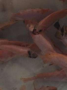 se vende tilapia roja al por mayor y menor